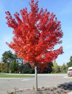 Autumn Blaze Maple tree | DowntownMarceline.org